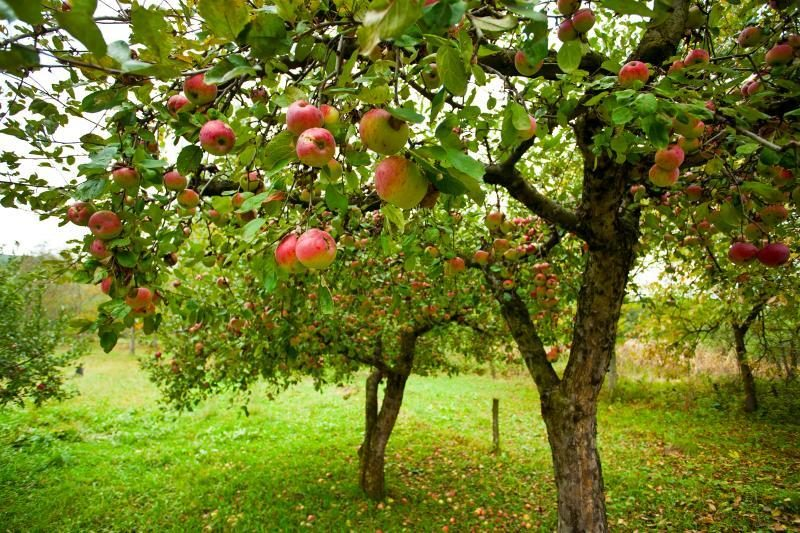 Į madą sugrįžta senosios lietuviškos obelų veislės