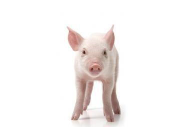 Vagys automobilyje vežėsi 12 kiaulių