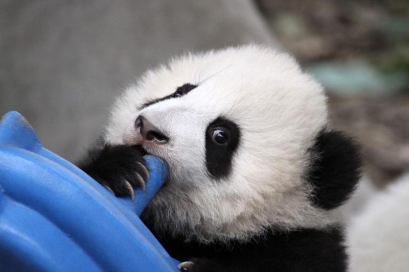 Tokijo zoologijos sode gimė didžiosios pandos jauniklis