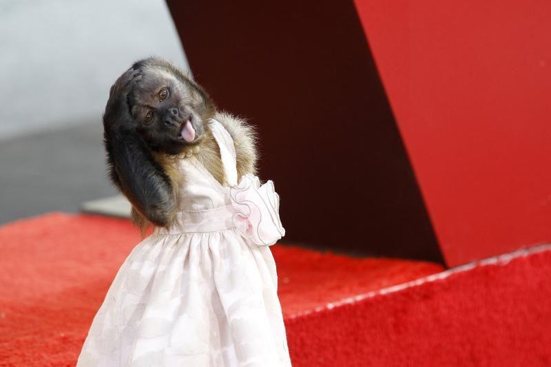 Numylėtoji beždžionėlė Crystal gelbės krentančius NBC reitingus
