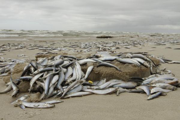 Kas kaltas dėl Smiltynėje išplautų negyvų žuvų - neaišku