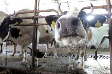 Pieno supirkimo kaina gali mažėti