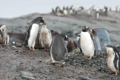 Pingvinai plūsta į šiltuosius kraštus