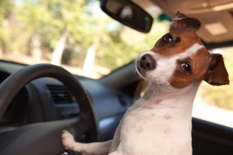 Šuo prie vairo – rimtas pavojus pėstiesiems