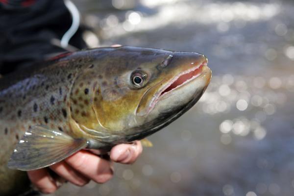 Baltijos jūroje sužvejojama triskart daugiau lašišų nei galima