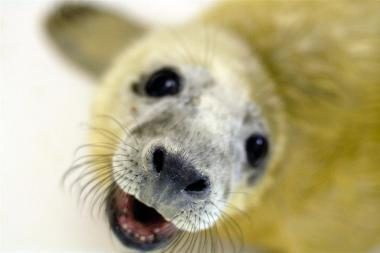 Muziejininkų išslaugyti ruoniukai grįš į jūrą
