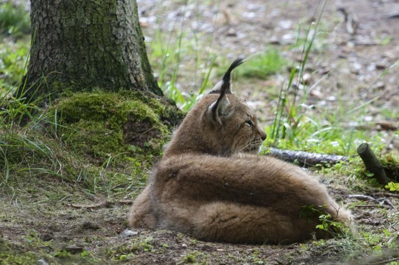 Nykstančios lūšys sugrįžta į Lietuvos miškus