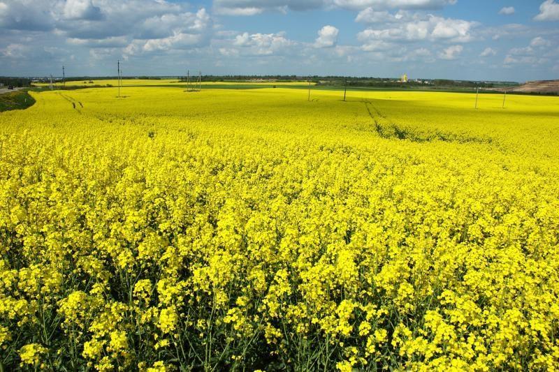 Genetiškai modifikuoti augalai Lietuvoje neauginami