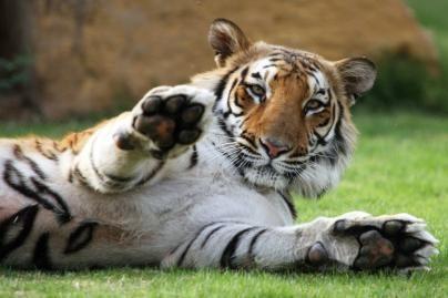 Bengalijos tigrai dovanų Bagdado zoosodui