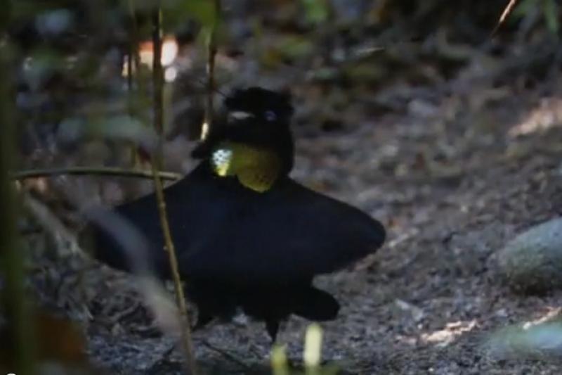 """Rojaus paukštis patelę vilioja šypseną keliančiu """"balerinos šokiu"""