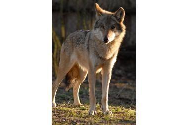 Per sezoną – trisdešimt vilkų