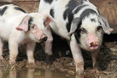 Pirmą kartą istorijoje kiaulė išgydyta nuo vėžio