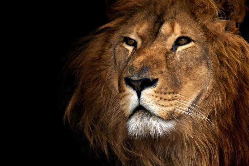 V. Afrikoje liūtai atsidūrė ant išnykimo ribos – liko 645 individai
