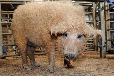 Aukcione parduota garbanota kiaulė