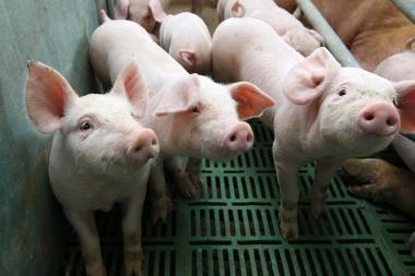 Vyriausybė apibendrins gyvulių ūkių keliamoms problemoms spręsti nuveiktus darbus