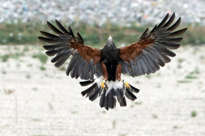 Gamtininkas: laukiniai plėšrūs paukščiai miesto nesibaido