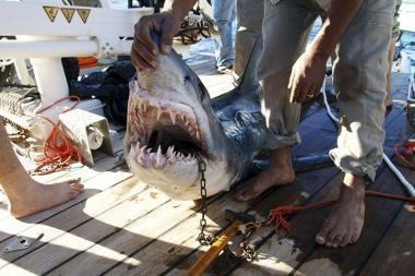 Šarm al Šeicho kurorte siautėjantis ryklys sugautas (atnaujinta)