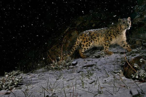Prestižinį konkursą laimėjo snieginio leopardo fotografija