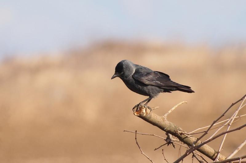 Lietuvos ornitologų draugija pasmerkė kovų lizdų naikinimą Vilniuje