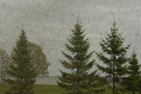 Juodkrantėje - įspūdingi uodų debesys