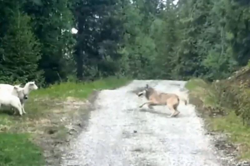Naktį sodyboje puotavo vilkai