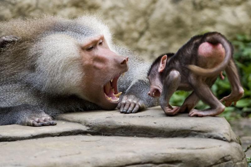 Oro bendrovė atsisakė skraidinti beždžiones laboratorijoms