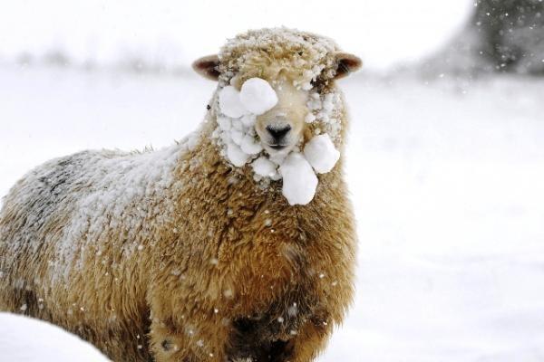 Keisti gyvūnai: avinėlis, kuris mano esantis šuo