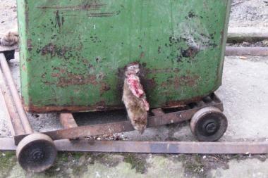 Nustipusios žiurkės puošia konteinerius
