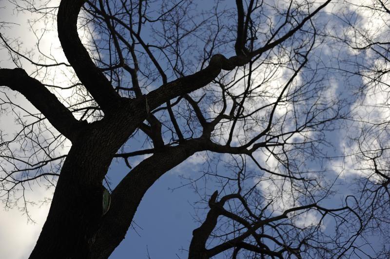 Rotušės aikštėje grėsmę keliantys medžiai neišvengs pjūklo