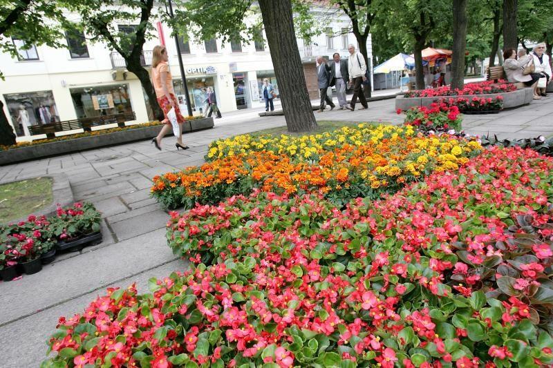 Po kelių savaičių miestas sužydės gėlėmis
