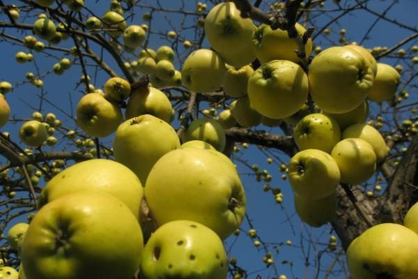 Prekyba lietuviškais obuoliais – vangoka