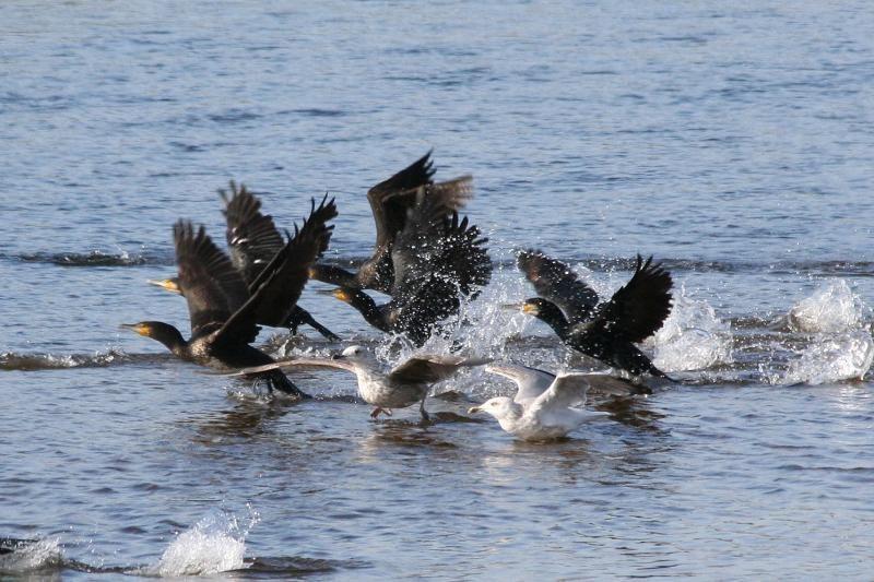 Rudeninė paukščių migracija stebina sparnuočių gausa