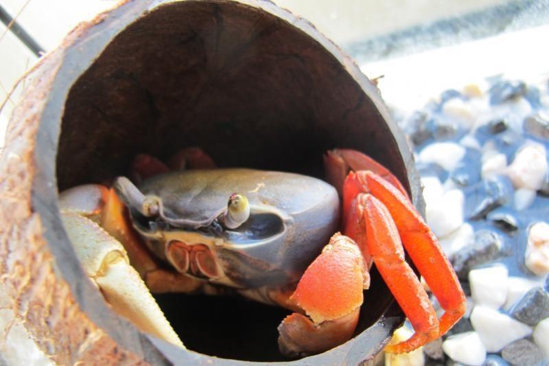 Susimovęs orakulas krabas į sriubą nepateks