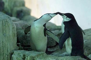 Kalifornijos pingvinas gėjus pakeitė orientaciją