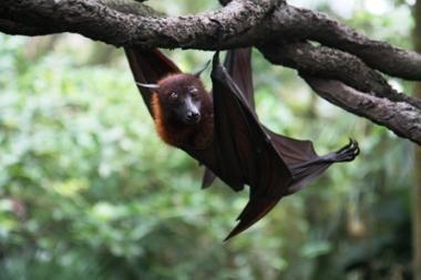 Alternatyviosios Nobelio premijos paskirtos šikšnosparnių poravimosi filmuotojams