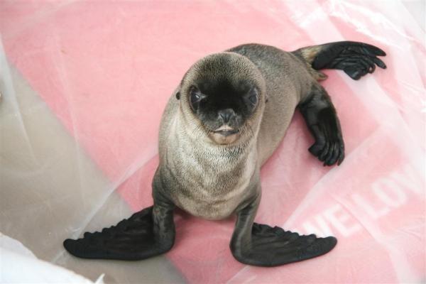 Jūrų muziejuje padaugėjo Kalifornijos jūrų liūtų