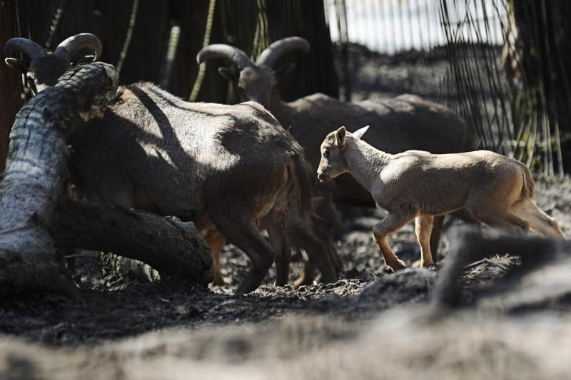 Zoologijos sodas pavasarį pasitiko su būriu jauniklių