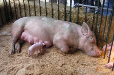 Europoje nustatomi nauji kiaulių užkrečiamųjų ligų protrūkiai