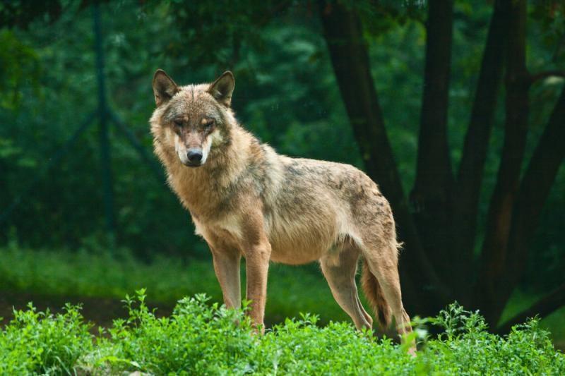 Lietuvoje laikinai sustabdyta vilkų medžioklė