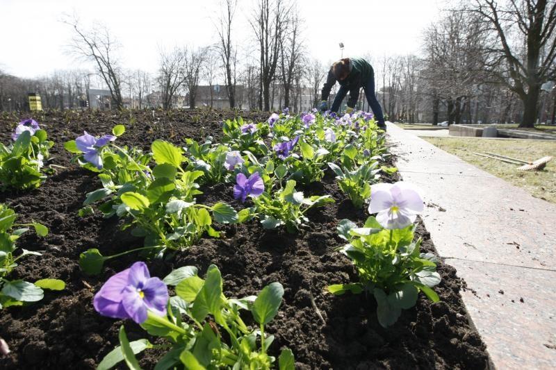 Atgimimo aikštė puošiama pavasarinėmis gėlėmis