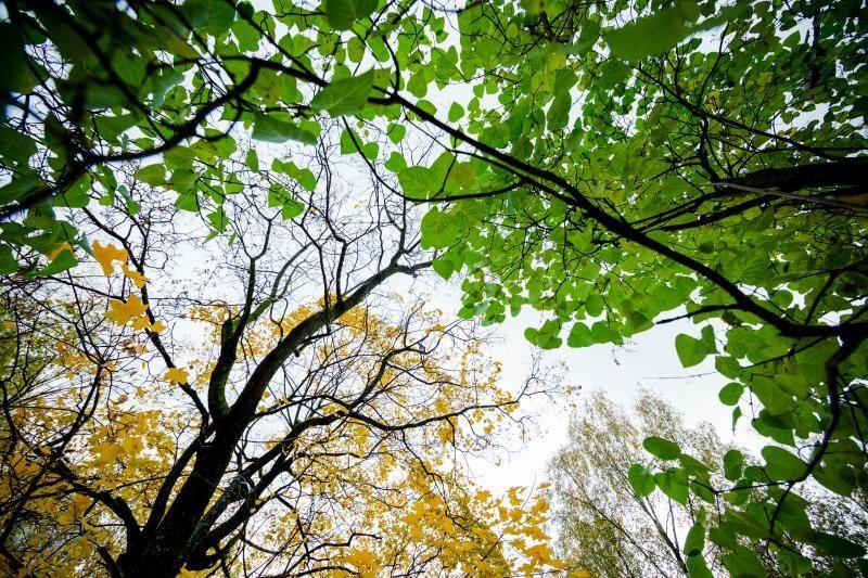 Verkių dvaro parke - arboristų laipiojimo medžių laja varžybos