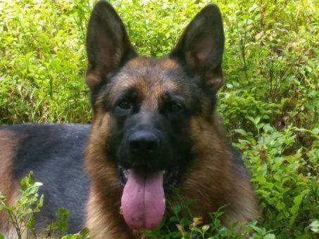 Skelbimas - Vokiečių aviganių šuniukai su dokumentais