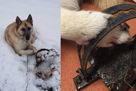 Aleksotiškiai pakraupę: į ant šaligatvio paliktus didžiulius spąstus įkliuvo šuo