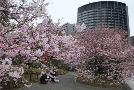Garsiesiems Japonijos sakurų žiedams pavojų kelia mirtinas priešas