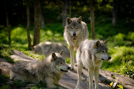 Aplinkos ministras patvirtino vilkų sumedžiojimo kvotą: 60 vilkų per sezoną