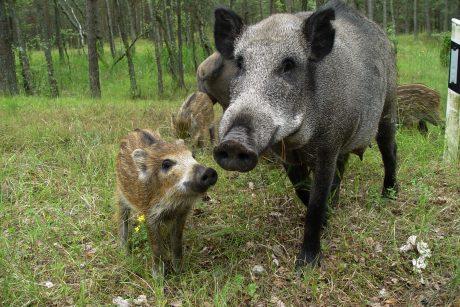Ekspertai: afrikinis kiaulių maras Baltijos šalyse plinta palyginti lėtai