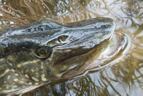Nuo balandžio 21-osios jau galima žvejoti lydekas