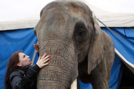 Vilniuje dramblys sukėlė sumaištį
