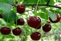 Skanėstai: vyšnias mes valgome ir šiaip – be tikslo, todėl, kad skanios.