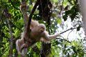 Vienintelis pasaulio orangutangas albinosas pratinasi prie gyvenimo džiunglėse
